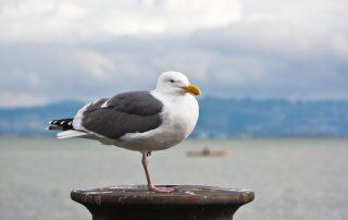 Gull Control