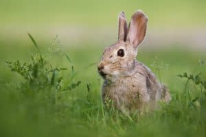Pest Rabbit