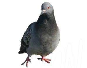 pest-pigeon