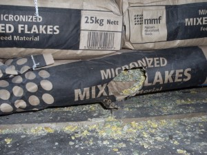 Damaged and contaminated stored cereal by rats 2