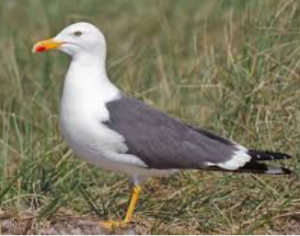 Have you got problems with Gulls? Call us on 0800 0283 703 for free expert advice. There was a time when seagulls, or more precisely gulls, were only ever seen and heard at the seaside. But this is no longer the case. Although it's true to say gulls are still to be found along our coastlines, they are becoming increasingly common in urban areas. The decline of the traditional fishing industry has been a factor in this move inland.  With large landfill sites and the increase in discarded food and rubbish, Gulls can find plenty to eat.  Two of the more common Gulls we're asked about are the Herring and Lesser Black-backed Gulls.