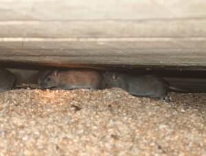 Rats on farm