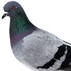 head-pigeon