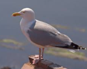 herring-gull-300x238