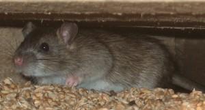 rat on farm