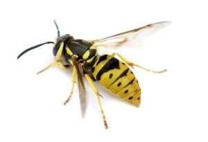 wasp.jpg2
